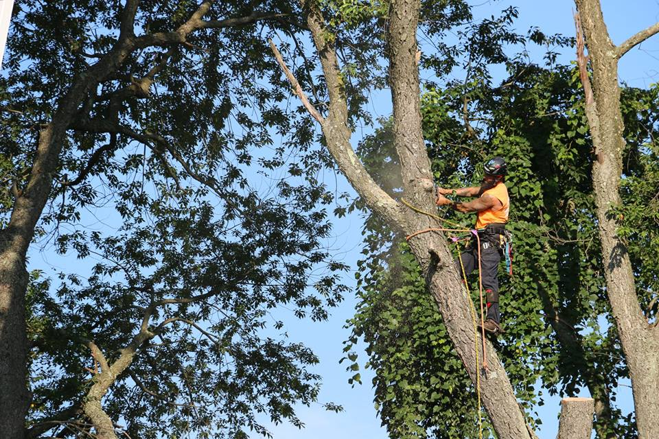 climber removing tree chainsaw